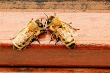 honey-bees-1568944_1280